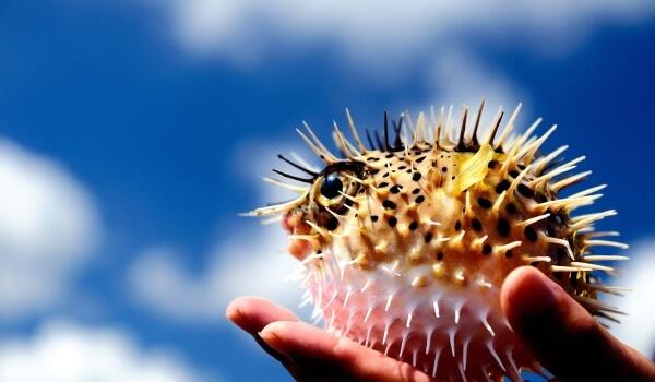 Фото: Морская рыба ёж