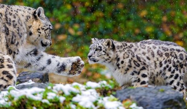 Фото: Кошка снежный барс