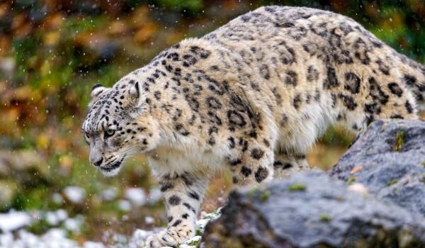 Фото: Животное Снежный барс