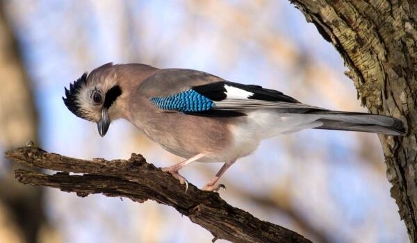 Фото: Сойка птица