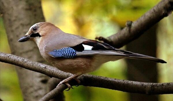 Фото: Сойка лесная птица