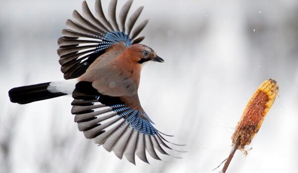 Фото: Сойка птица зимой