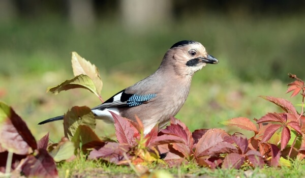 Фото: Птица сойка