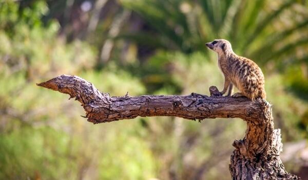Фото: Сурикат животное