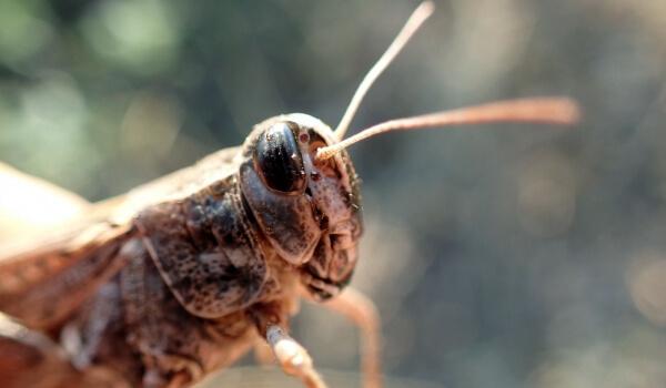 Фото: Сверчок насекомое