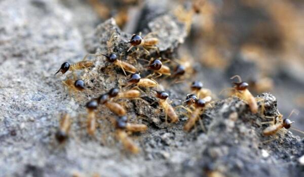Фото: Крупные термиты