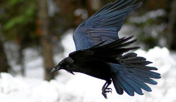 Фото: Ворон в полете