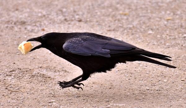 Фото: Ворон птица