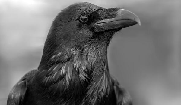 Фото: Черный ворон