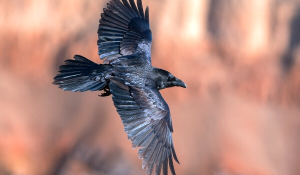 Фото: Ворон животное