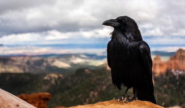 Фото: Птица ворон