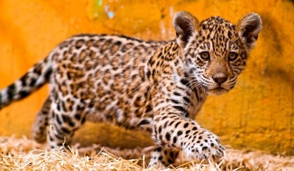 Фото: Детеныш ягуара