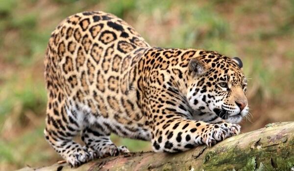 Фото: Животное ягуар