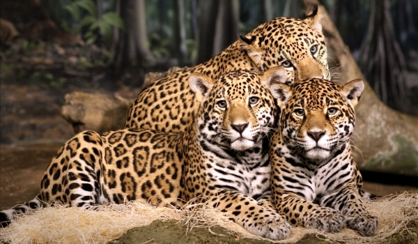 Фото: Ягуар животное