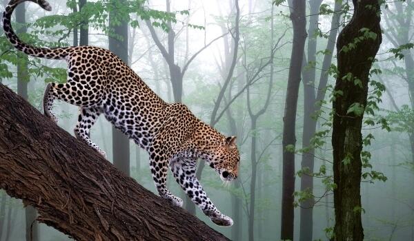 Фото: Ягуар кошка