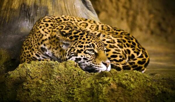 Фото: Ягуар пантера