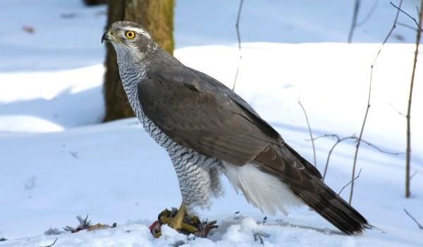 Фото: Ястреб-перепелятник зимой