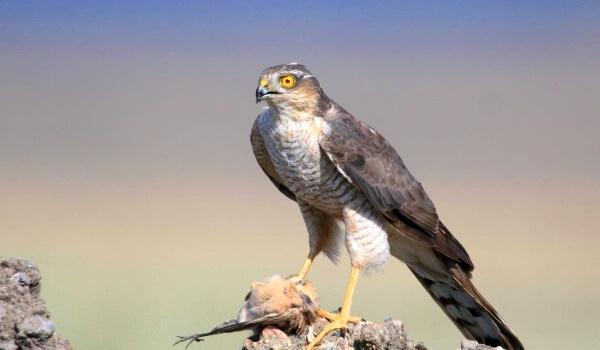 Фото: Птица ястреб-перепелятник