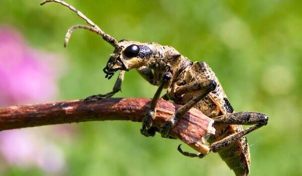 Фото: Большой жук дровосек