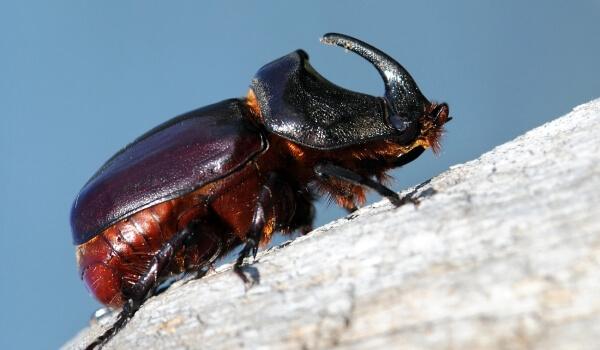 Фото: Насекомое жук носорог