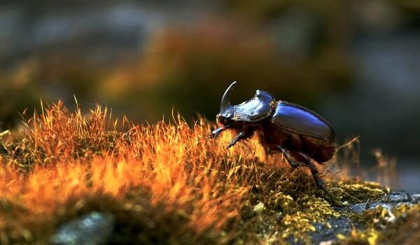 Фото: Жук носорог насекомое