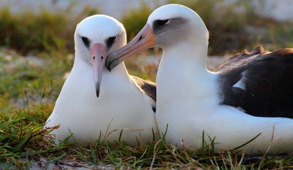 Фото: Пара альбатросов
