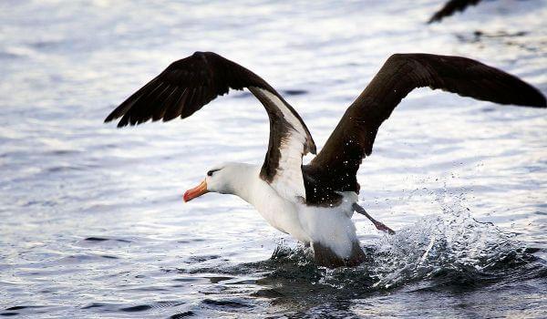 Фото: Альбатрос на воде