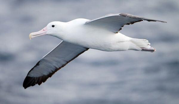 Фото: Птица альбатрос
