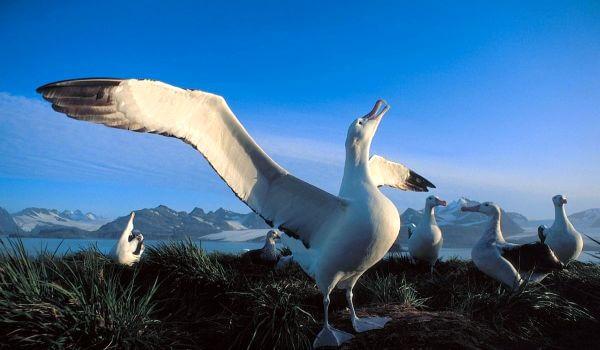 Фото: Альбатрос животное