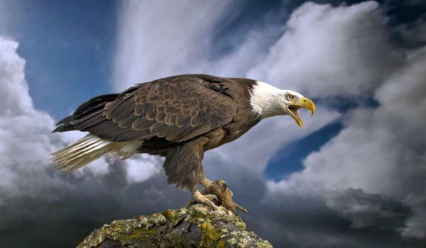 Фото: Белоголовый орлан животное