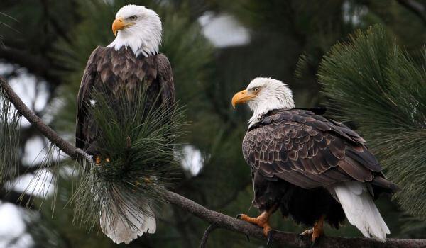 Фото: Белоголовый орлан Красная книга