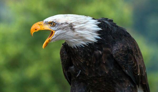 Фото: Американский белоголовый орлан