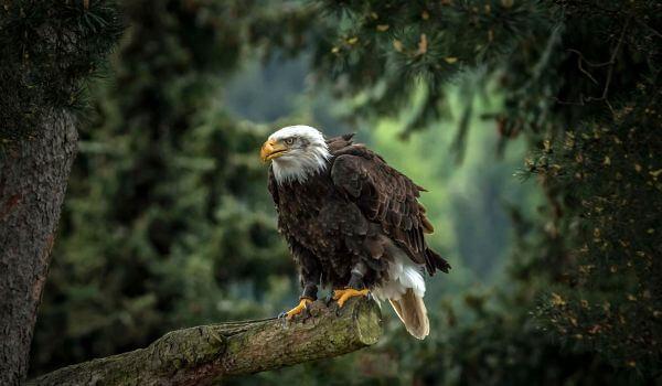 Фото: Белоголовый орлан из Красной книги