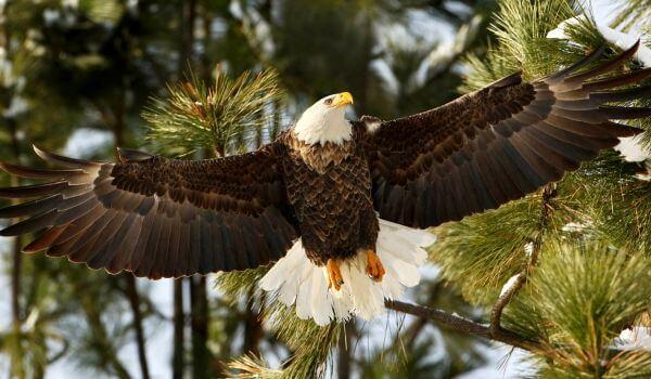 Фото: Белоголовый орлан США