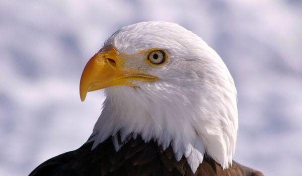 Фото: Белоголовый орлан