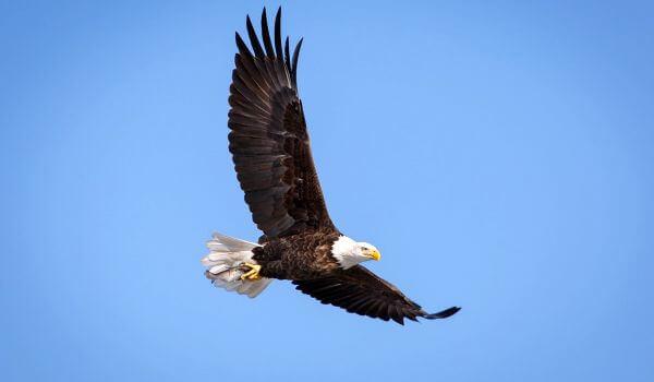 Фото: Белоголовый орлан в полете