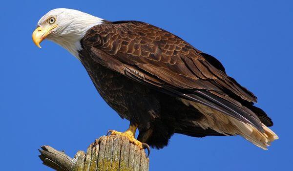 Фото: Птица белоголовый орлан