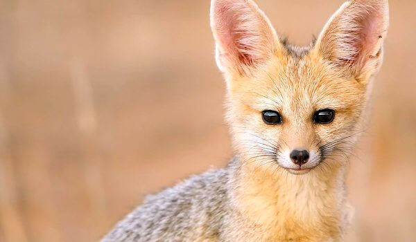 Фото: Большеухая лисица