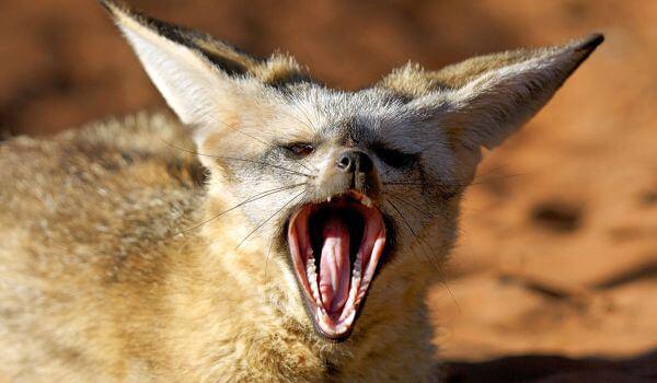 Фото: Большеухая лисица из Африки