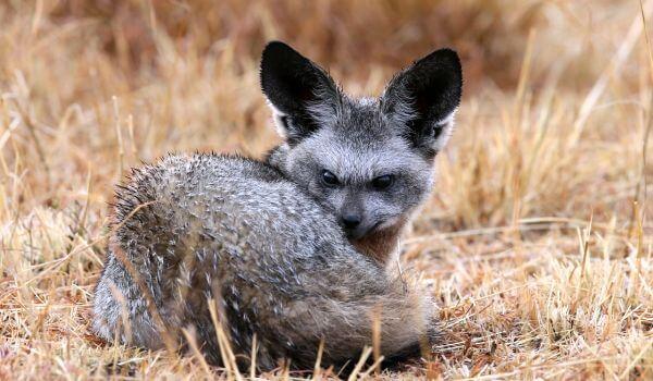 Фото: Африканская большеухая лисица