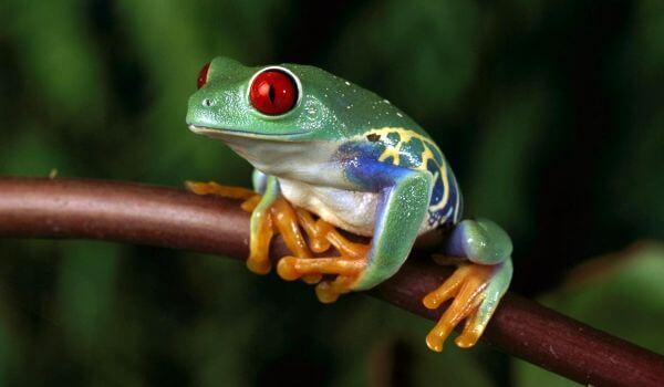 Фото: Ядовитая древесная лягушка