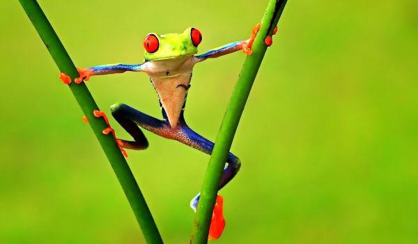 Фото: Зеленая древесная лягушка