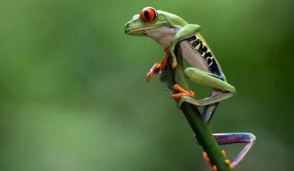 Фото: Животное древесная лягушка
