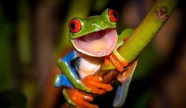 Фото: Древесная лягушка квакша