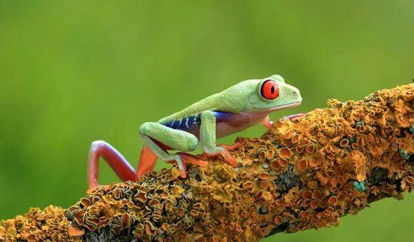 Фото: Красноглазая древесная лягушка