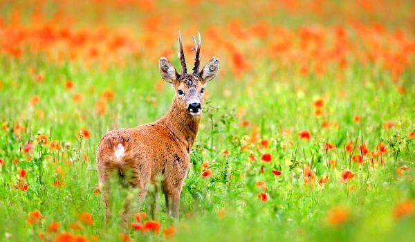 Фото: Европейская косуля в природе