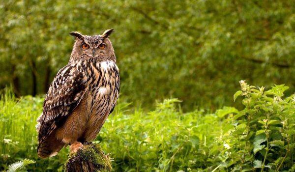 Фото: Птица филин