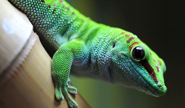 Фото: Зеленый геккон