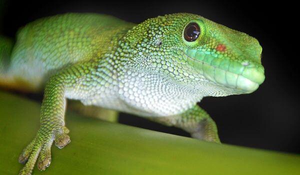 Фото: Ящерица геккон