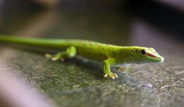 Фото: Животное геккон